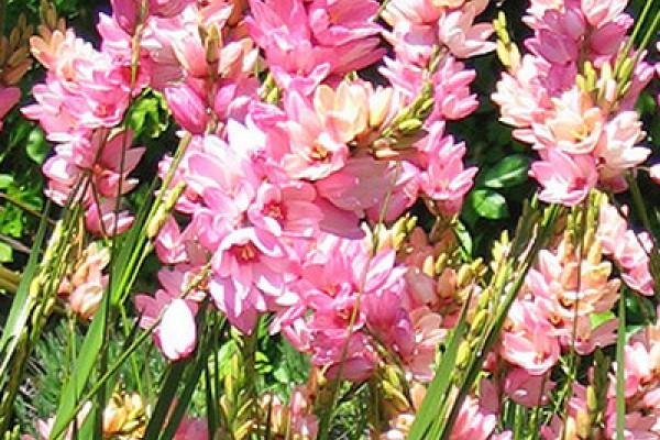 Иксия – цветок из далёкой Африки в Вашем доме
