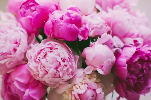 Пион – привлечение удачи, счастья и богатства