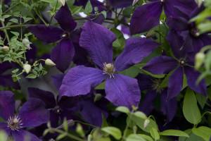Клематис – лиана, украшающая интерьер и создающая хорошее настроение>