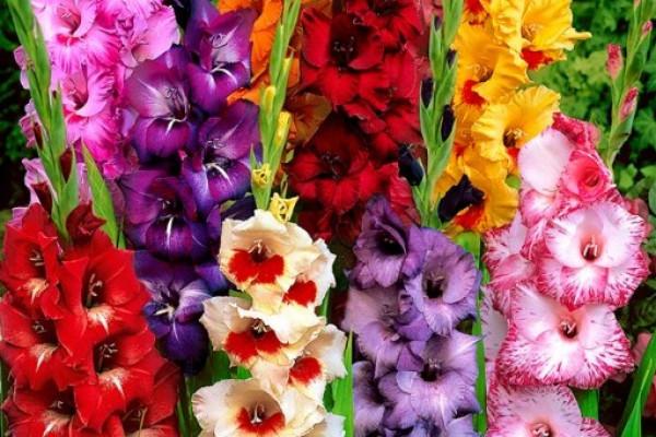 Гладиолус – самый изысканный и благородный цветок