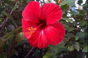 Гибискус – китайская роза, не имеющая к розе никакого отношения>