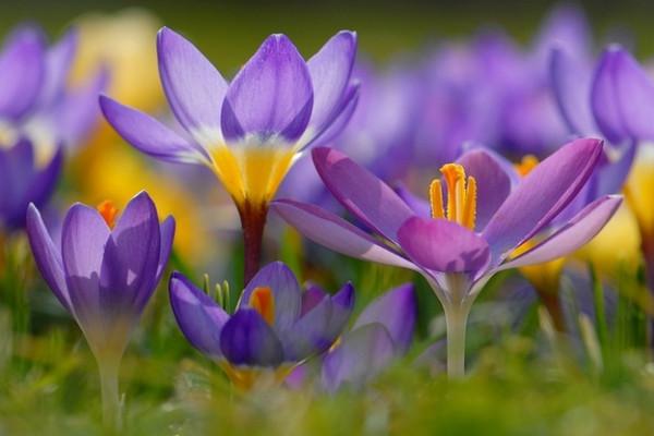 Крокус – самый романтический первоцвет