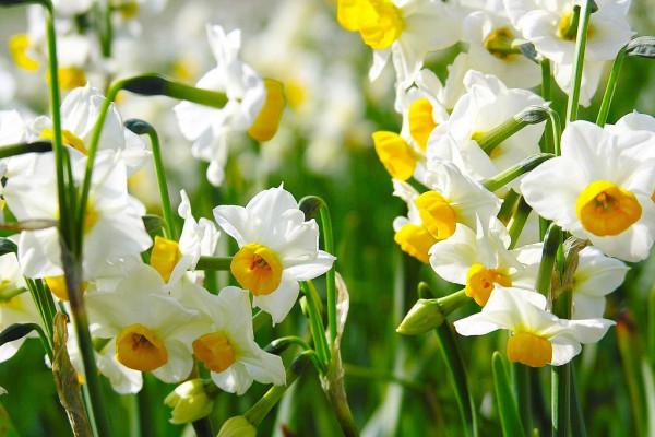 Нарцисс – цветок, заставляющий забыть обо всём