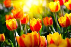 Тюльпаны: подарите миру свою улыбку>