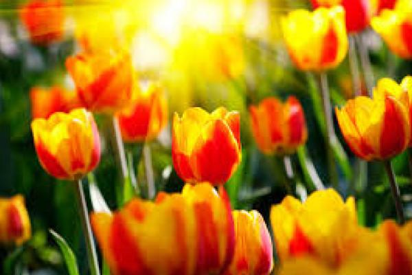 Тюльпаны: подарите миру свою улыбку